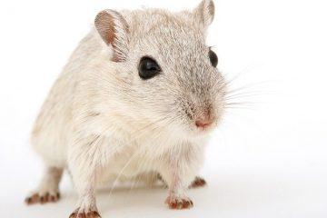 A white mouse.