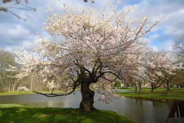 A blossom tree and peaceful park, one of the perks of living in the charming small towns in Morris County.