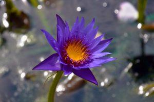 A flower in the Royal Botanical Garden.